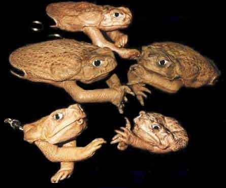 Cane toad purses