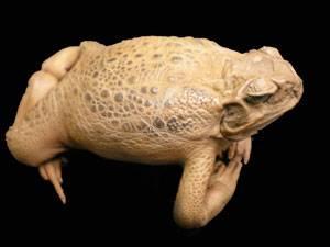 Stuffed Toad