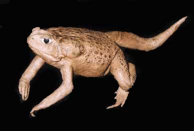Prehistoric toad - Tail type