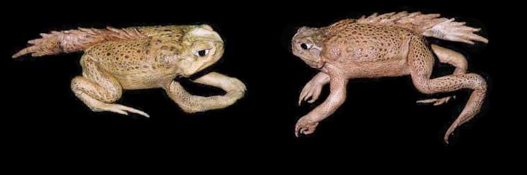 2 Prehistoric Toads