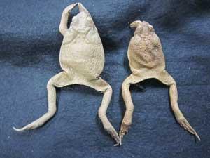 2 Toad skins