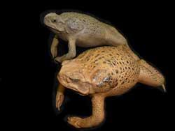 Stuffed Toads XL size